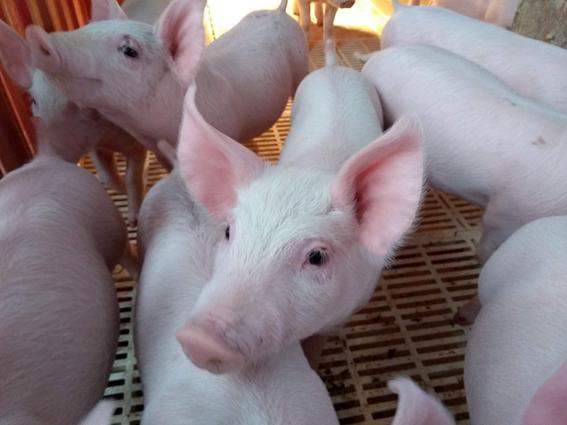 Suplementação vitamínica minimiza efeitos do estresse causados pelo transporte de suínos